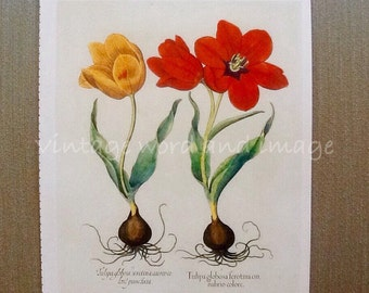 Basilius Besler Tulips Art Print Red Yellow Plant Book Plate Vintage Color Lithograph Reprint Home Kitchen Botanical Floral Spring Decor