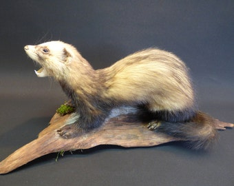 TAXIDERMY Large Male Polecat. Mounted On Driftwood. Total Length 49cm. Mammal.