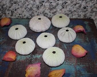 Sea Urchin Sea Shell Lot Handpicked Central Coast California Beach Treasure Lot Of 7