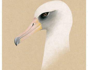 Laysan Albatross Portrait Drawing Illustration - Fine Art Print