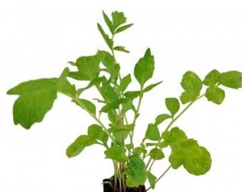 Valerian Plant (Valeriana officinalis)