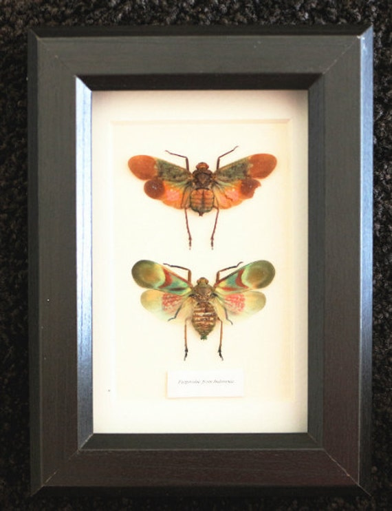 Artframe with real insects : Topquality display with beautiful duo of fulgoridae , FREE SHIPPING