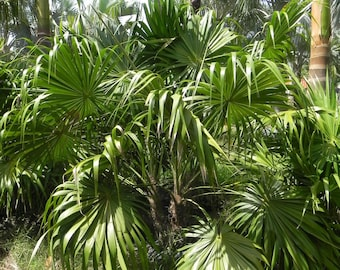 Thatch Palm Seeds (Thrinax Radata) 10+ Rare Tropical Palm Tree Seeds