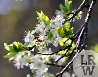 Fine Art Photography White Tree Flowers Digital Download