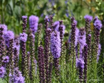 Lavender 4 - Sequim WA