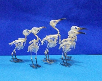 Taxidermy real bird skeleton Cute lots 5 pcs Oriental white eye