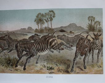 antique print zebra 1895