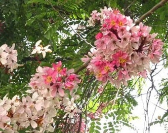 Cassia Javanica 20/50/150/500 Seeds, Pink & White Shower Flowering Tree, Fragrant Garden