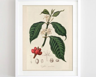 Printable Coffee Plant Print Antique Coffee Print Botanical Illustration Vintage Botanical Poster Coffee Art Kitchen Decor Digital Download