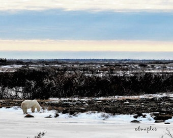 Lone Polar Bear, Snow, Bear Photography, Polar Bear Print, Wildlife Photo