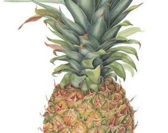 Pineapple Fruit Botanical Print - Botanical Art Watercolor Painting by Sally Jacobs - Ananas Fruit Art
