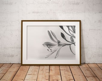photography flower black and white agapanthus in digital download, agapanthus flower photography black and white digital download