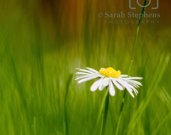 Daisy print, photograph, flower photography, green, wall art, home decor, modern, housewarming gift, gift for gardeners, birthday gift,