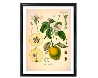 Quince Botanical Print, Cydonia vulgaris Pers., Quince fruit print, kitchen print, medical botanicals, vintage botanicals