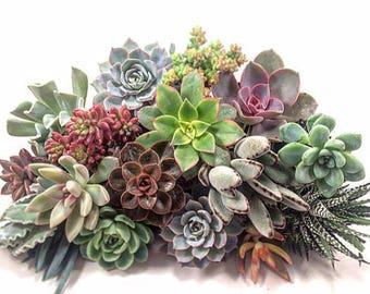 Succulent Plant Plugs (10)