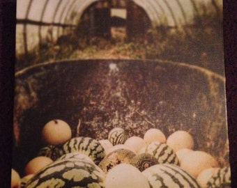 Melons in the greenhouse