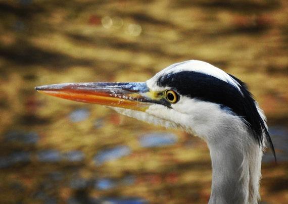 Heron on the river kelvin
