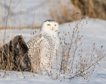 "Bird Print, Owl Print, Snowy Owl, Bird Art, ""Snowy Owl and the Golden Gaze"""