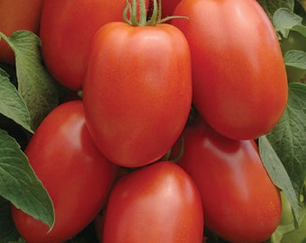 Tomato Roma Heirloom Nice Garden By Seed Kingdom Seeds