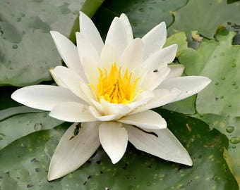 100 Nymphaea alba Seeds, European white water lily, white water rose Seeds