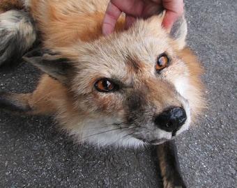 Beautiful ranched red fox plush fur pelt soft taxidermy mount
