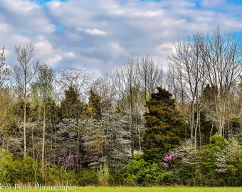 Spring Woodlands in Bloom,Germantown Ohio,White,Blue,Green,Pink,Puffy Clouds,Blue Sky,Woods,Nature,Landscape