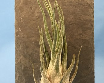 Mounted Air Plants Etsy