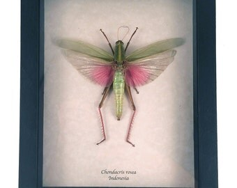Real grasshopper framed - Chondacris rosea
