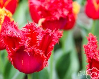 Red Tulips of the Skagit Valley Tulip Festival