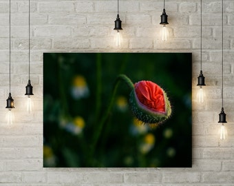 red poppy, bud of a red poppy, Photoprint, Art, Printart - Poster, Acrylic, PVC foamboard, canvas print