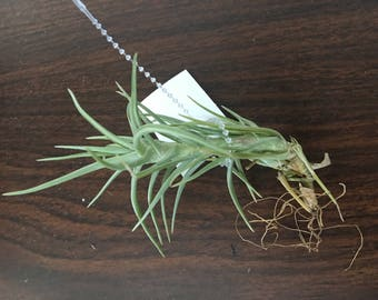 Cocoensis Air Plant