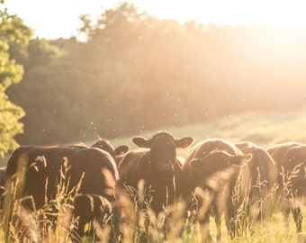 Backlit Heifers Cow Farm Photography Print