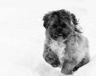 Shih tzu black and white in the snow