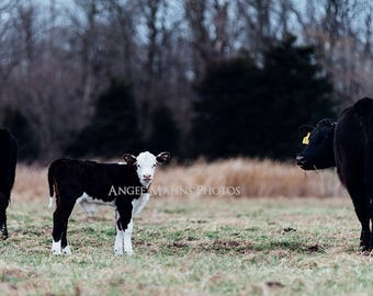 Cow Photograph, Farm Animal Photography, Rustic Home Decor