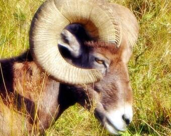 Chrysomallus - PHOTO PRINT - Bighorn Sheep Ram
