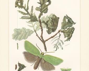 Vintage lithograph of european oak leafroller, green oak moth, tortrix moths, leafroller moths from 1956