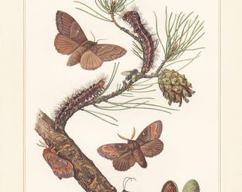 Vintage lithograph of pine-tree lappet from 1956