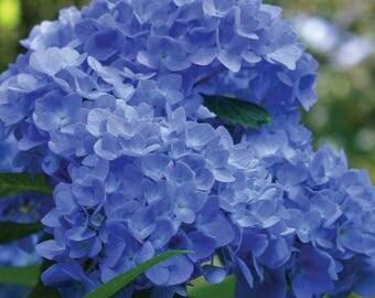 One Hydrangea Nikko Blue Garden Live Plant Shrub for Cottage Gardens