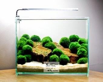 "3 Marimo Moss Ball Low light Nano Live Aquarium Plant (1 1/8"" - 1 1/4"") - Aquascaping - Aquatic Plants"