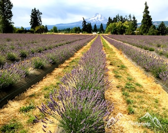 Lavender Fields In a Valley