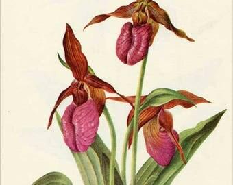 Vintage 1953 pink Mocassin-flower Botanical, Floral Print for Framing, American Wildflower