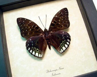 Real Framed Dichorragia Ninus Dark Green and Blue Butterfly 765