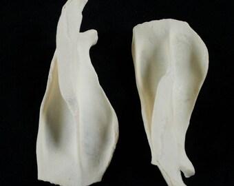 x2 Beaver Scapula Bones: Grade A, Professionally Cleaned - castor canadensis R58762