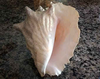 """Large and Gorgeous Conch Shell with Lacy Edge / 9"""" Pink, Ivory & Gray Conch Seashell / Beach Wedding / Bridal Shower"""