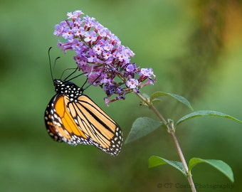 Monarch Butterfly Nature Photography Print, Orange Butterfly, Purple Milkweed Flower, Insects, 8x10 Prints