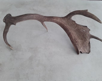 Natural fallow deer antler shed for home or cabin design decor rustic real antlers gift