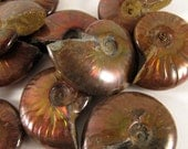 Red Opalescent Flash Whole Ammonite, one (1) piece - FRedA008