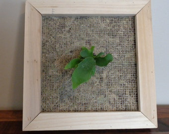 Staghorn Fern and Living Frame Kit