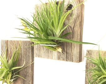 Set of Three LARGE FORM Air Plant and Barn Wood Grab Bag airplants