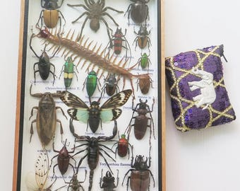 Rare Taxidermy Real Insect Display Insects Box Bug Wood Gift Scorpion Spider Entomology Collectible Beetle Set Art Frame Framed Eupatorous